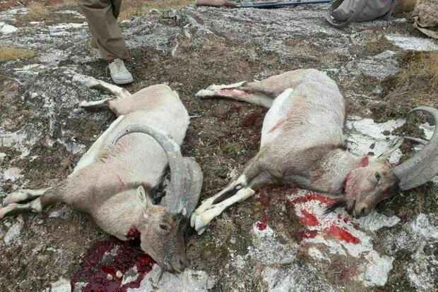 شکار کل و بز در اورامانات و نابودی این گونه جانوری زیبا در کوهستان ها