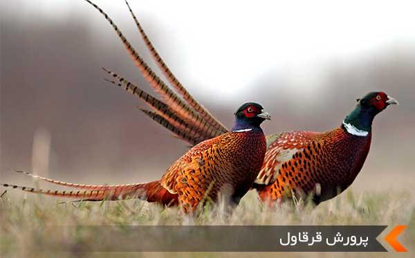 توقیف ۳۰۰ نفر پرنده قرقاول در این شهرستان