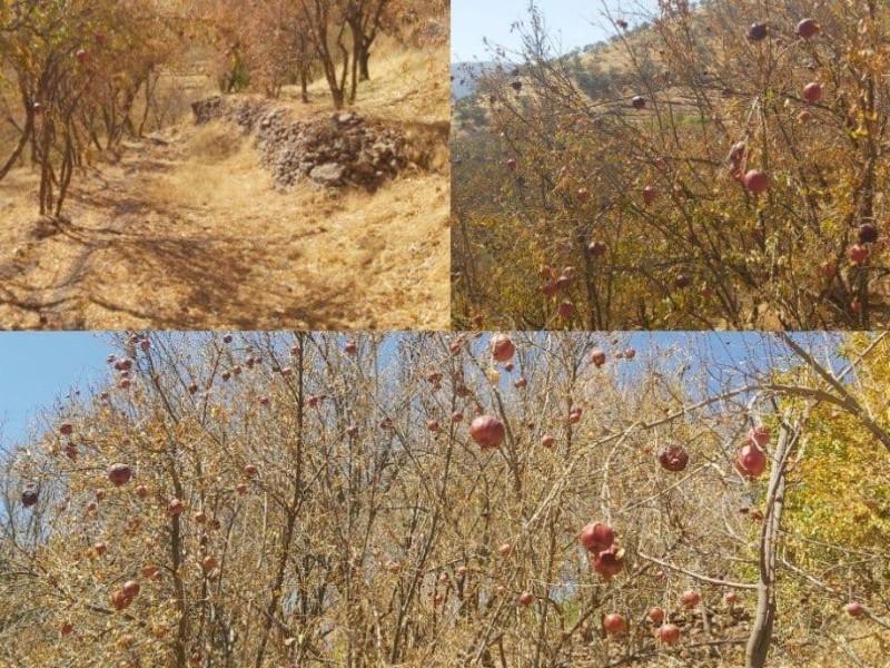 وضعیت خشکسالی و تنش آبی باغات انار در منطقه شوشمی پاوه/لزوم رسیدگی و پیگیری ستاد بحران به این موضوع